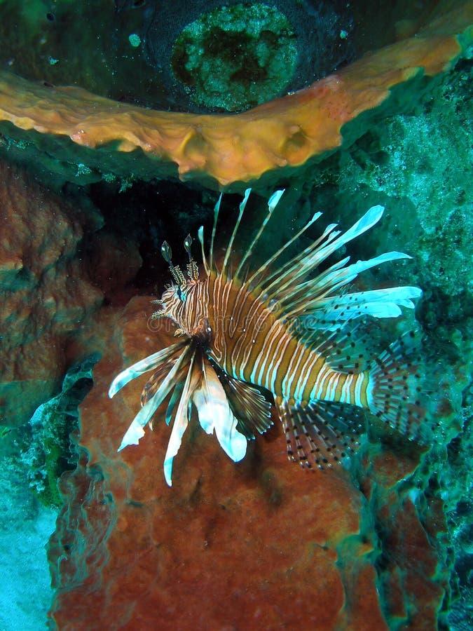 Lion Fish foto de stock royalty free