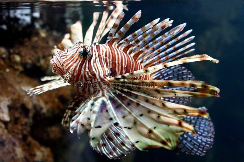 Download Lion fish stock image. Image of venomous, reefs, scorpion - 620073