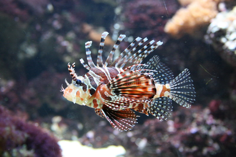 Download Lion fish stock image. Image of coral, background, artico - 6599385