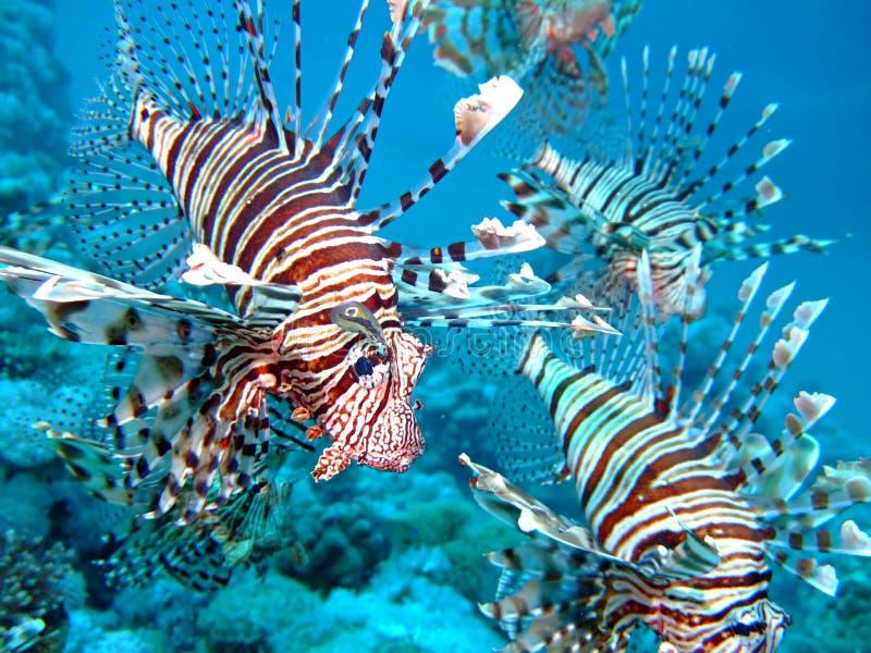Lion Fish royalty free stock photo