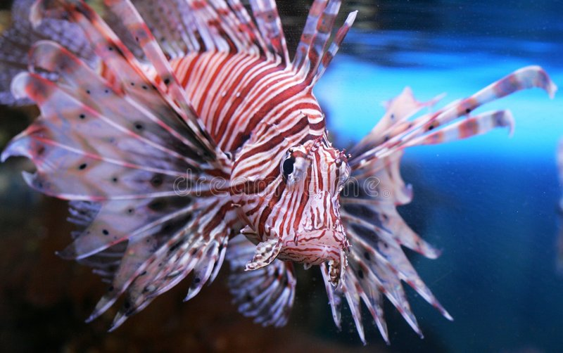 Lion fish. Unusual fish with greater fins royalty free stock image