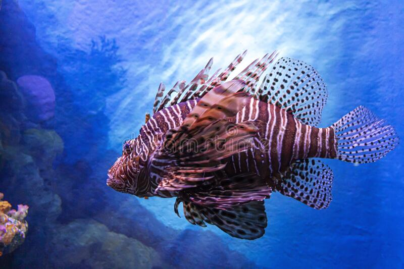Lion Fish against a blue color deep sea stock images