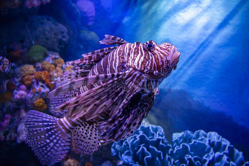 Lion Fish against a blue color deep sea royalty free stock photo