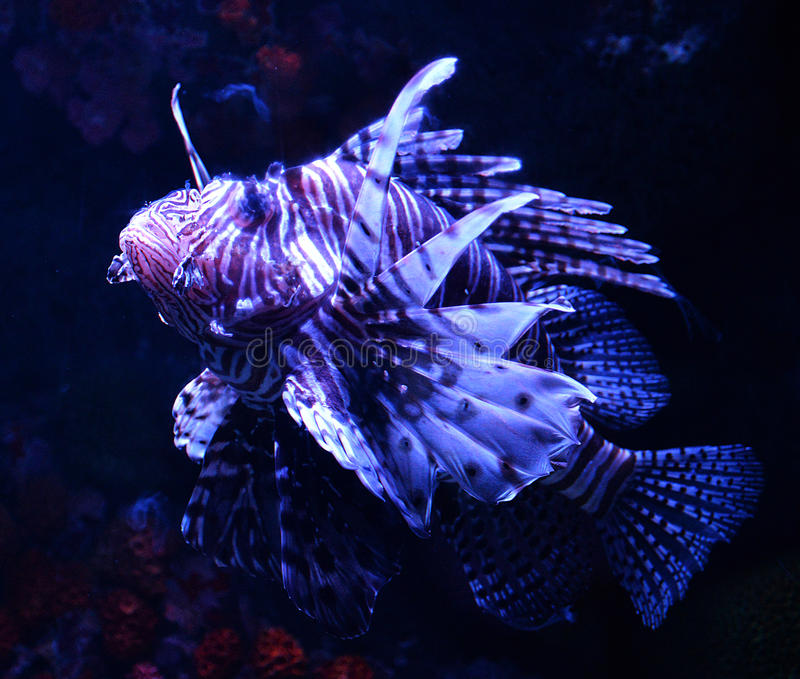 Lion fish. Beautiful lion fish swimming on a sea on aquarium royalty free stock image