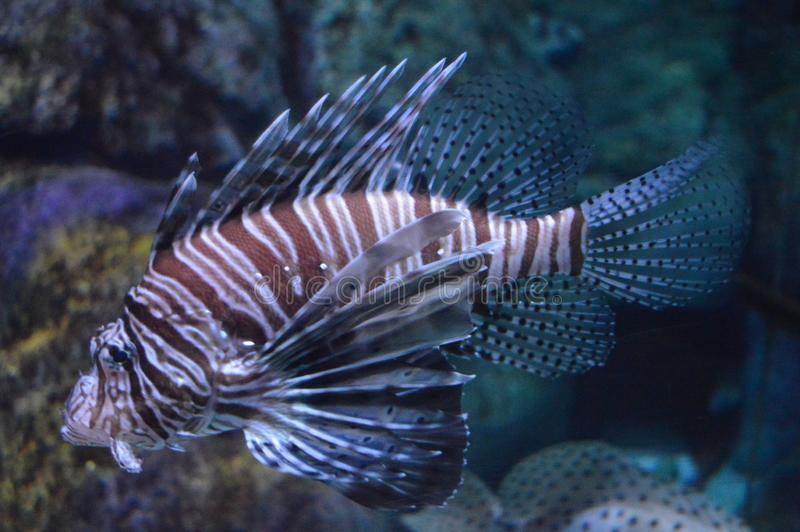 Lion Fish, close up royalty free stock photo
