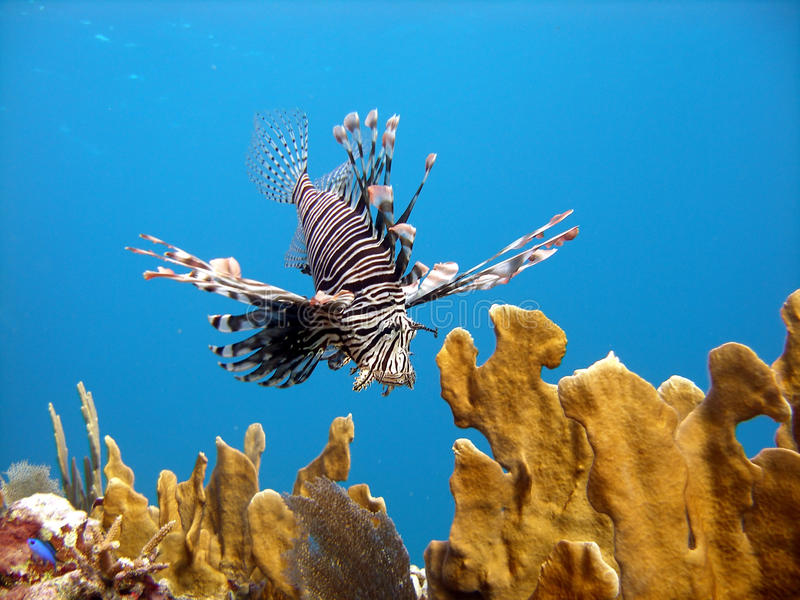 Download Lion Fish, deadly predator stock photo. Image of saltwater - 12779344
