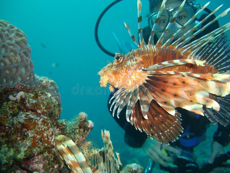 Lion Fish & Divers stock photo