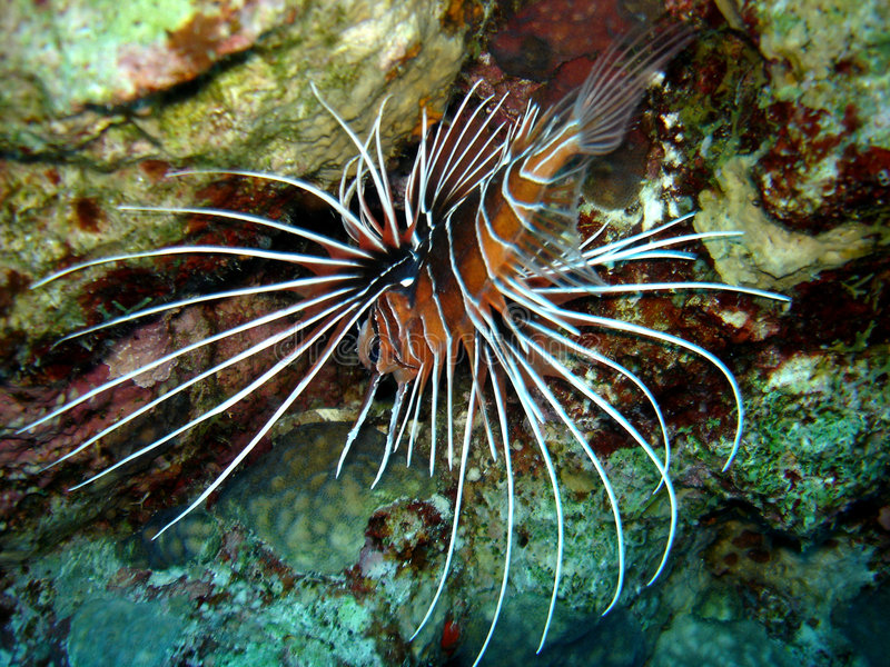 Download Lion Fish From Overhead Stock Photo - Image: 2302030