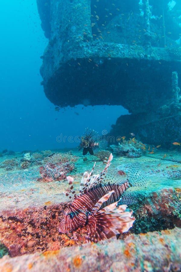 Lion Fish pericoloso vicino al naufragio immagini stock libere da diritti