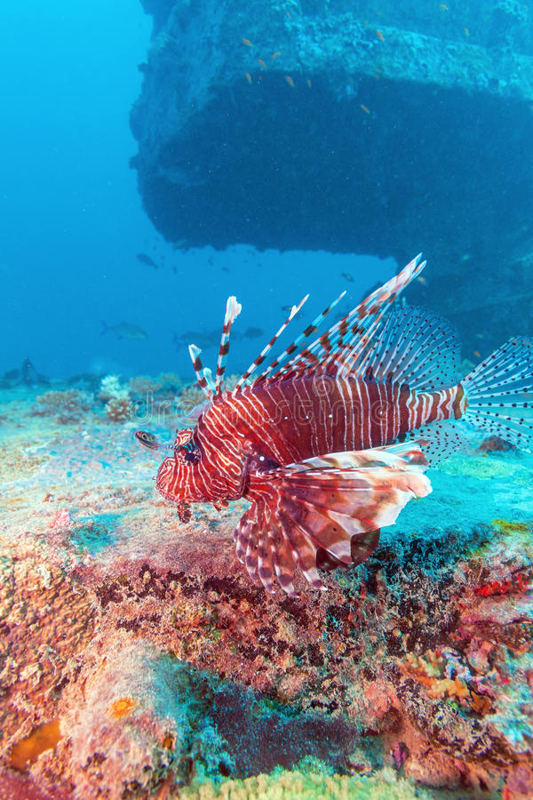 Lion Fish perigoso perto do naufrágio fotografia de stock