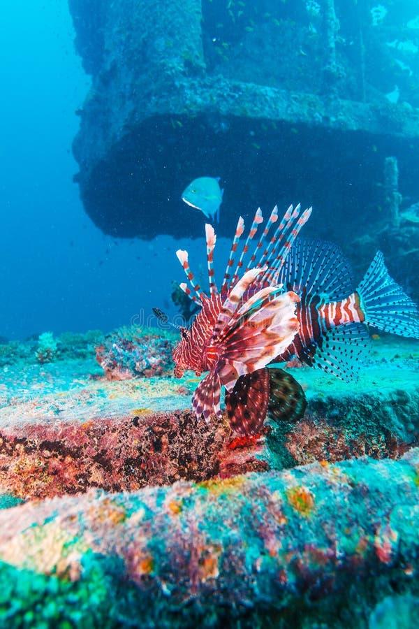 Lion Fish perigoso perto do naufrágio fotos de stock royalty free