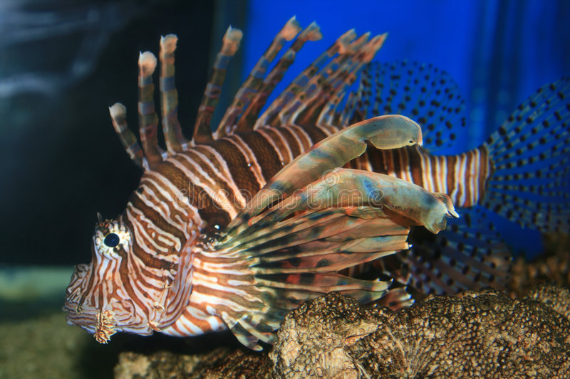Lion Fish in the Red Sea royalty free stock photos