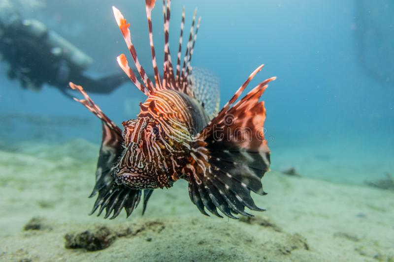 Lion fish in the Red Sea , Eilat Israel a.e. Lion fish in the Red Sea Colorful and beautiful , Eilat Israel a.e royalty free stock photography
