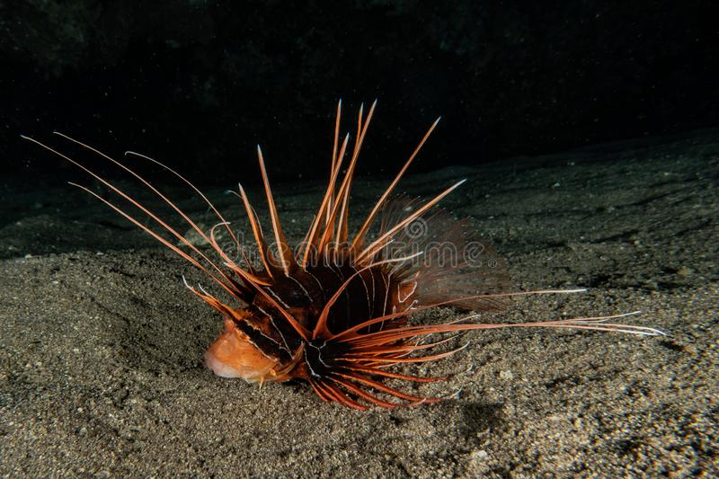 Lion fish in the Red Sea stock images