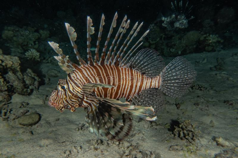 Lion fish in the Red Sea royalty free stock photo
