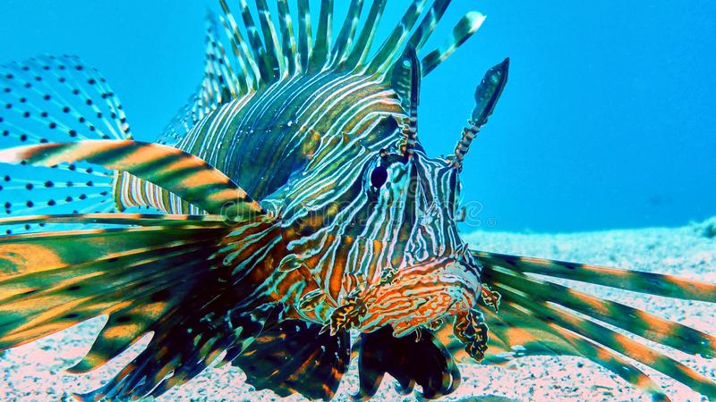 Lion fish in Red sea royalty free stock photography