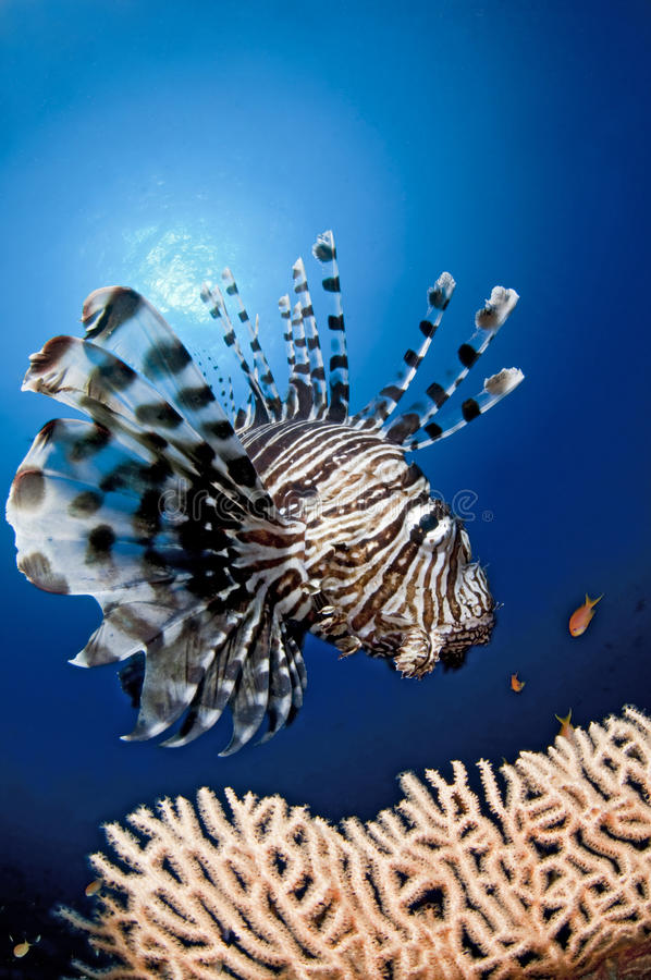 Lion Fish in the reef, Egypt, Red sea royalty free stock image