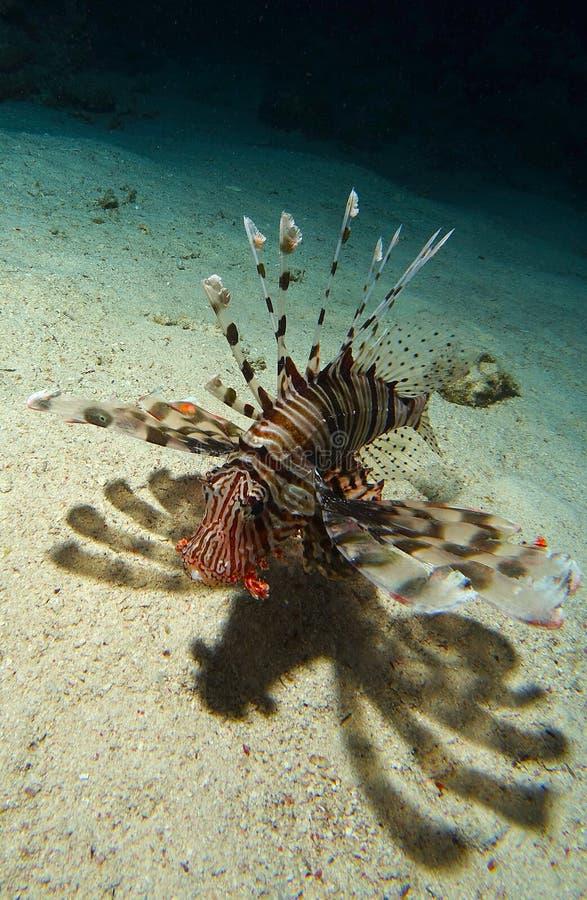 Lion Fish Swim Over sanden arkivfoto