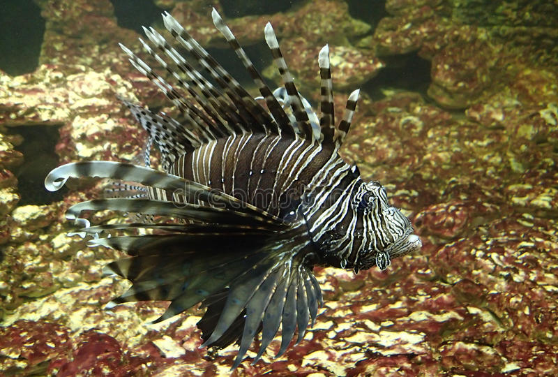 Lion fish swimming royalty free stock images