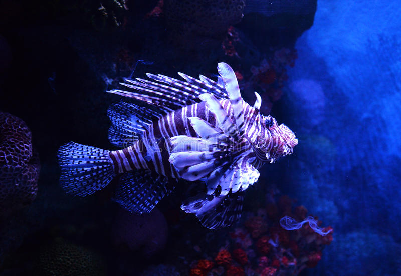 Lion fish. Swimming on a sea on aquarium royalty free stock photos