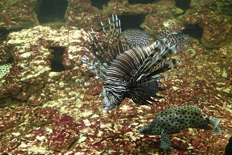 Lion fish in water stock image