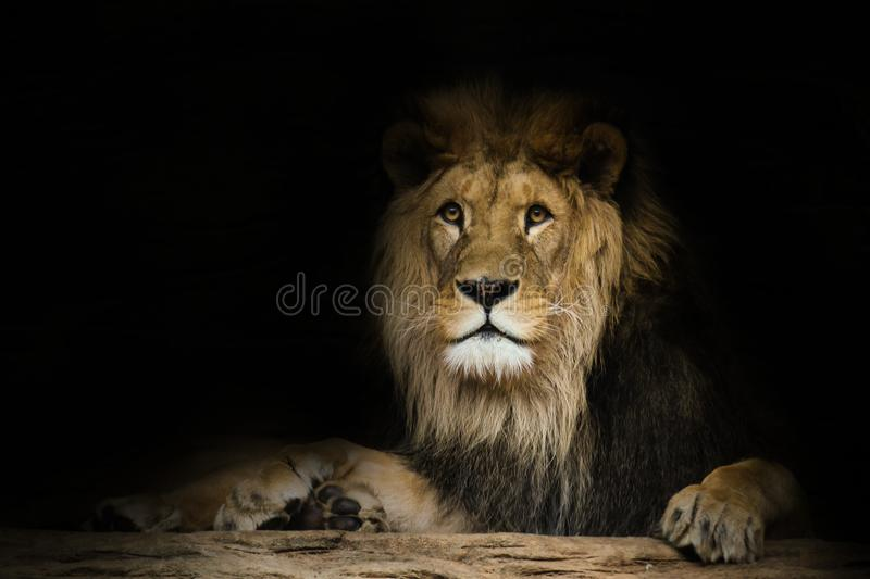 Lion with a fixed look with black shine. Detail face lion stock image