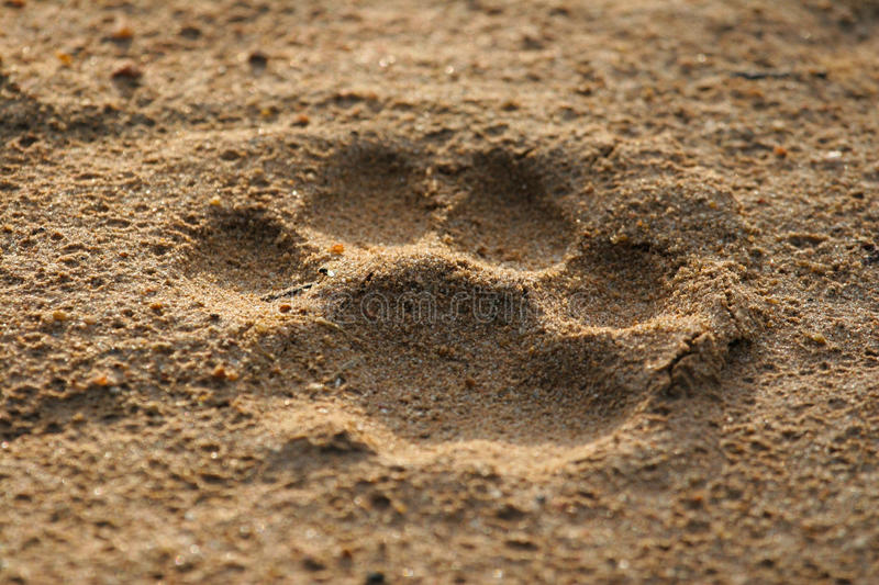 Lion footprint royalty free stock photography