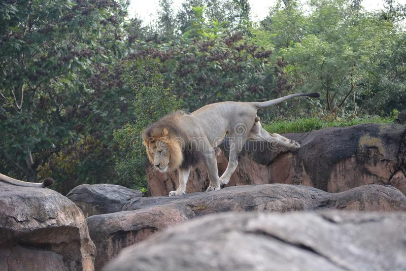 Lion walking stock image