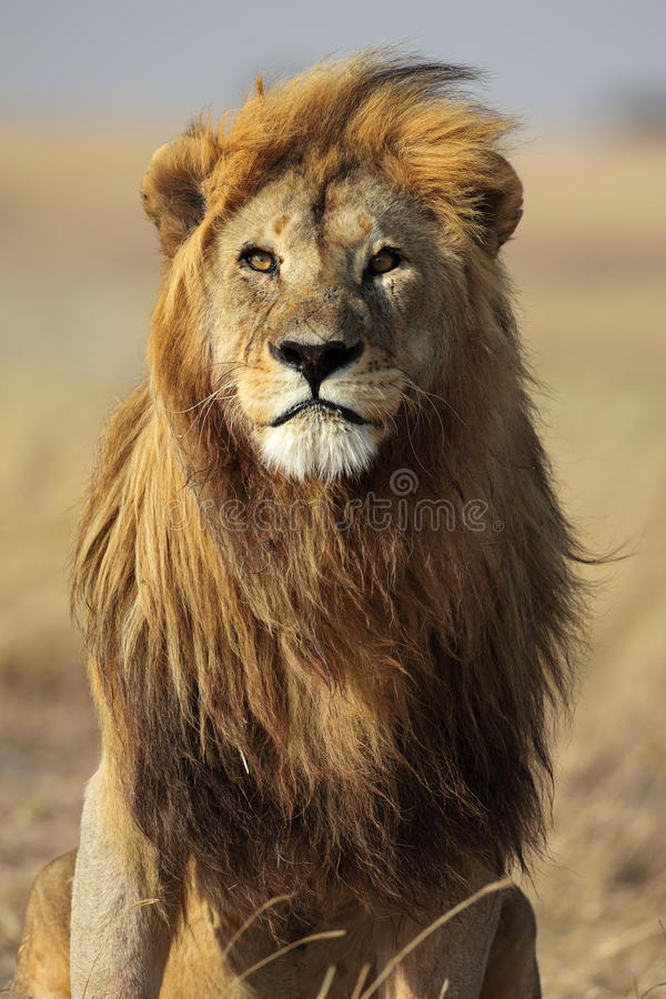 Lion with golden mane, Serengeti, Tanzania stock image