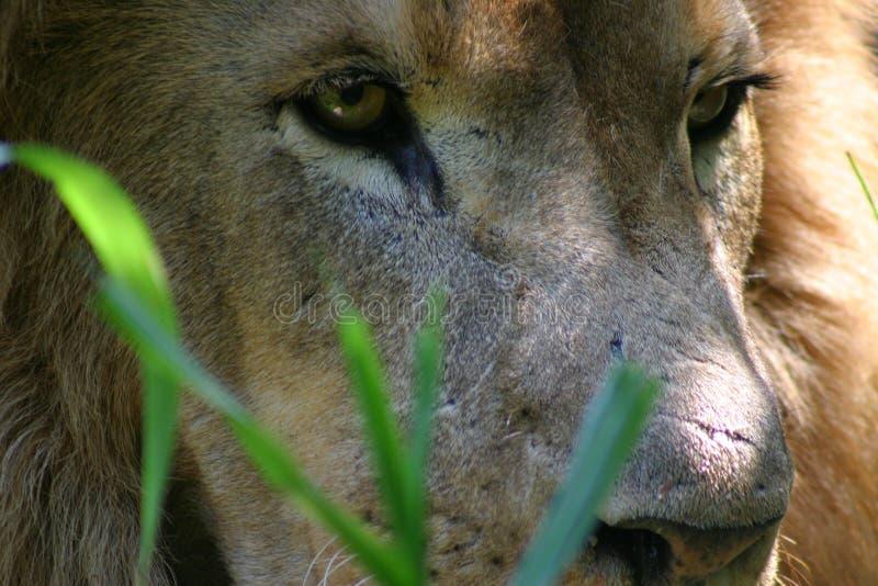 Lion in grass stock photos