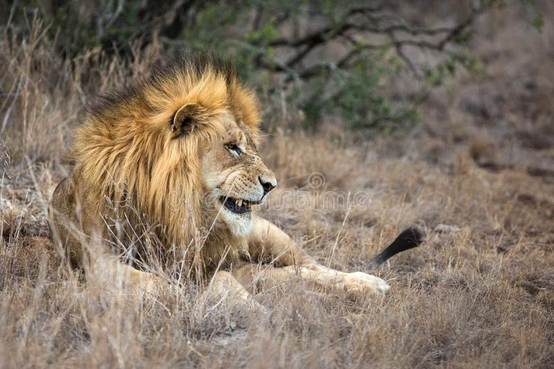 Lion in grass at game reserve safari park. Male lion with golden mane lying down in African grass in game reserve safari park stock images