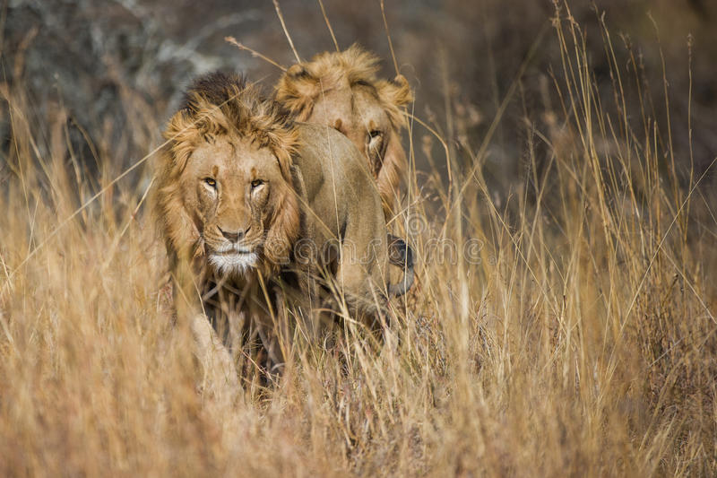 Lion in grass South Africa royalty free stock photos