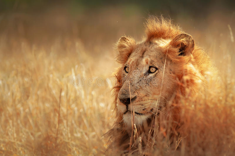 Lion in grassland stock photos