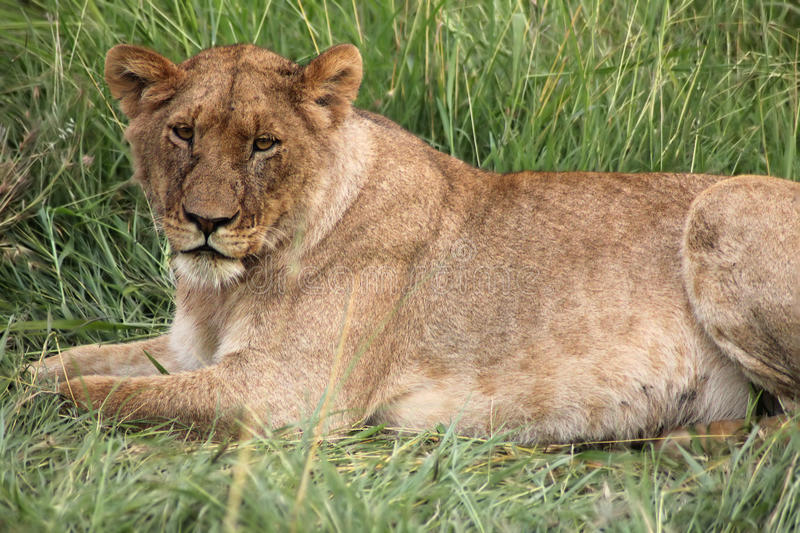 Lion On Green Grass royalty free stock photo
