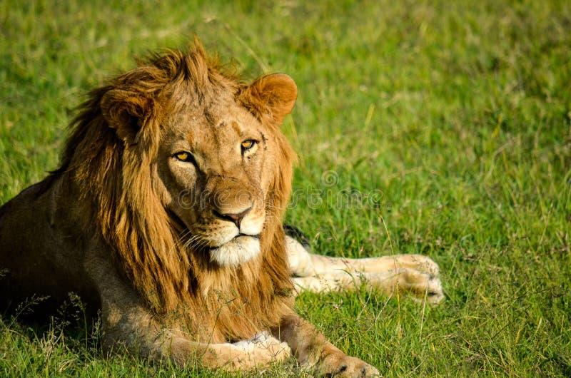 Lion on Green Grassland stock photo