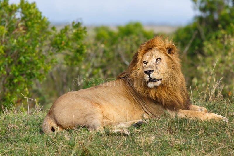 Lion Grimace i masaien Mara royaltyfri bild