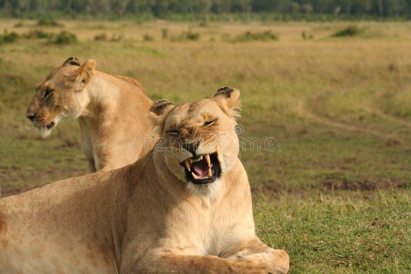 Lion grincheux image libre de droits