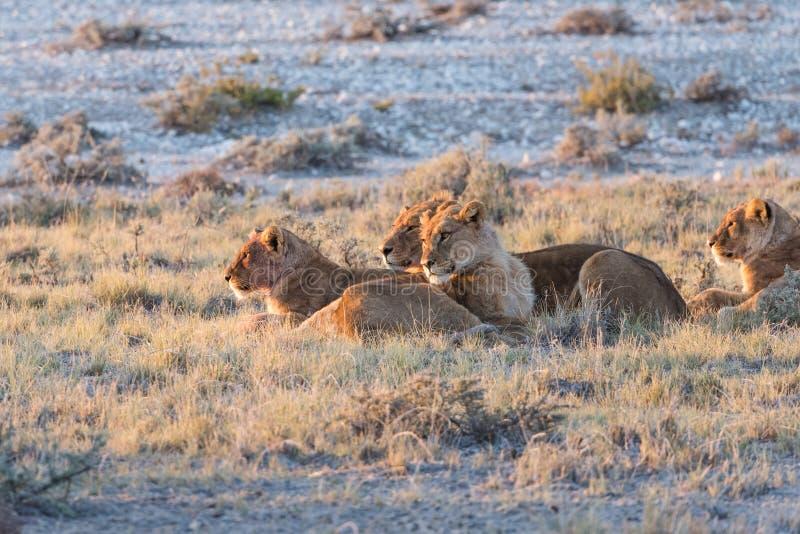 Lion Group in Etosha. Group of Lions (Panthera leo) resting in early morning light, Etosha National Park, Namibia royalty free stock photos