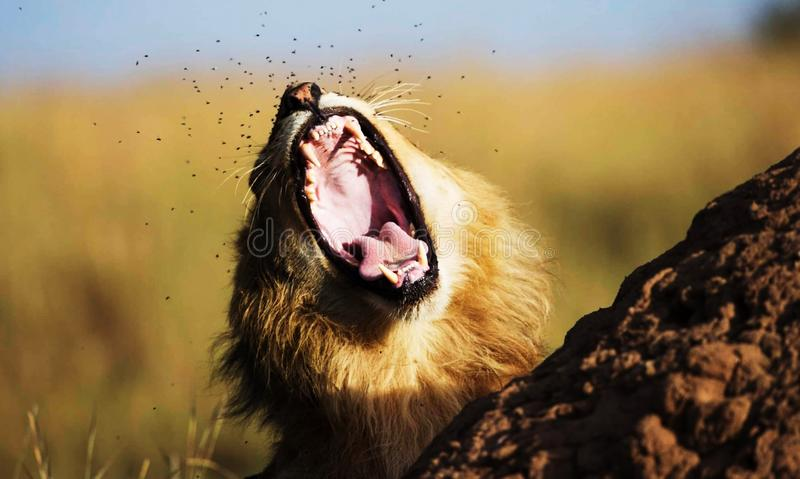 A lion growing with visible teeth and tongue along with mites flying around his nose royalty free stock images