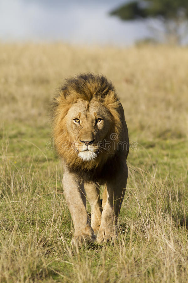 Lion head on. A lion male approaches directly onto the viewer. Photo taken in Eastern Cape nature reserve, Republic of South Africa