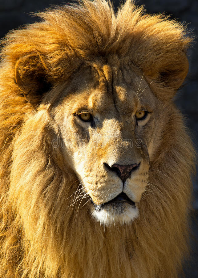 Download Lion Head stock image. Image of predator, fierce, creature - 22489135