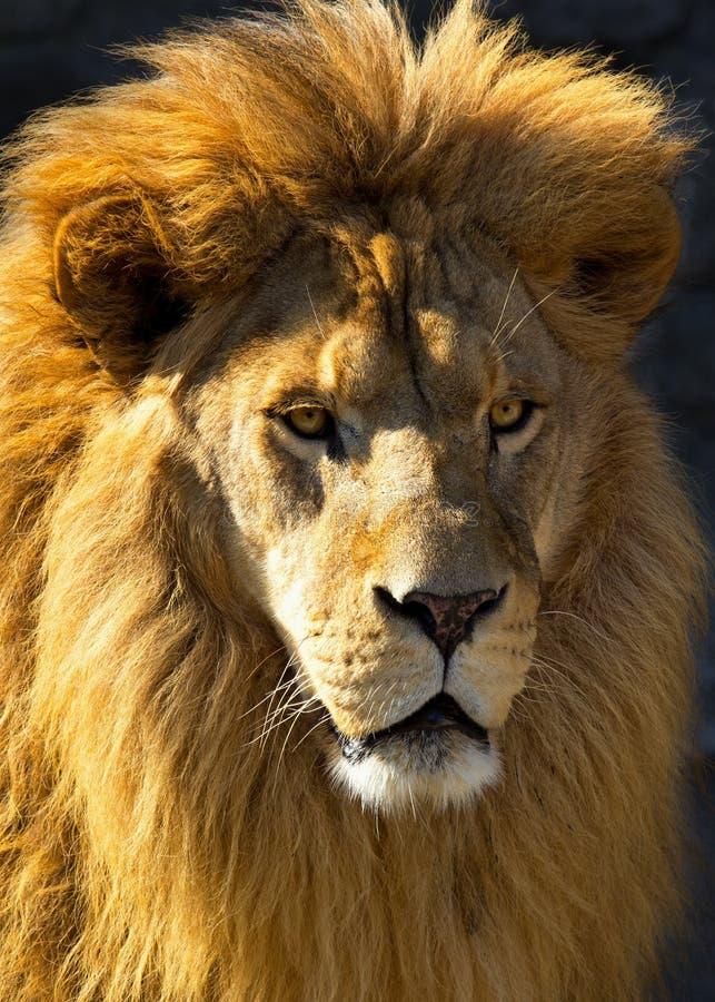 Free Lion Head Royalty Free Stock Photo - 22489135