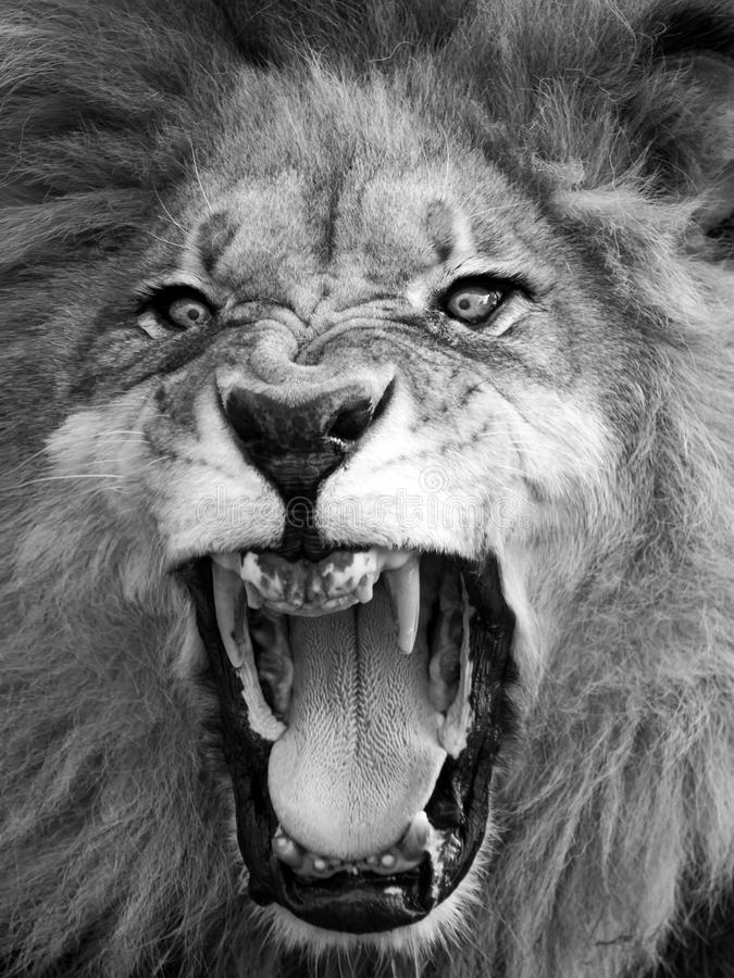 Download Lion head stock image. Image of nature, profile, roar - 100690109