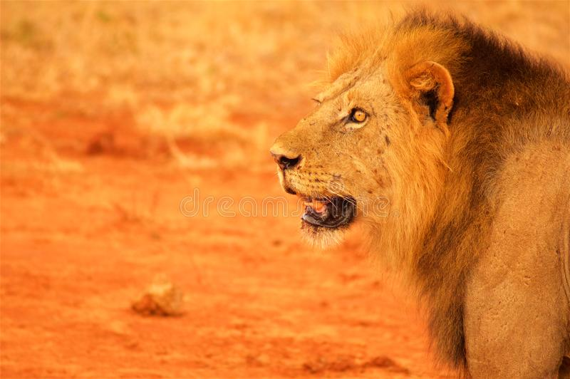 Lion head from profile Tsavo National Park Africa. Lion head from profile in Tsavo National Park in Africa stock photo