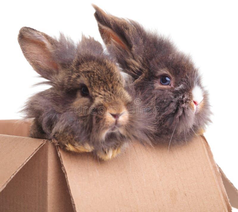 Lion head rabbit bunnys sitting in a cardboard box. Side view of two cute lion head rabbit bunnys sitting in a cardboard box stock image