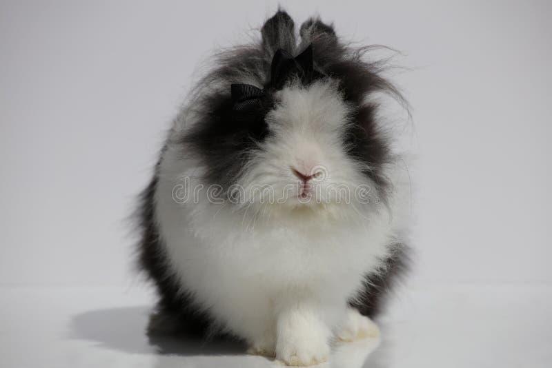 Lion Head Rabbit fotos de stock royalty free