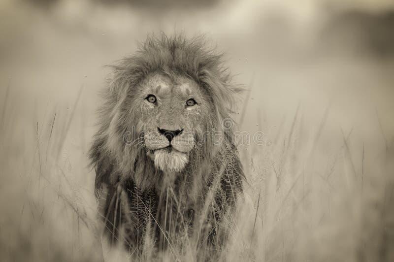 Lion Headshot fotografering för bildbyråer