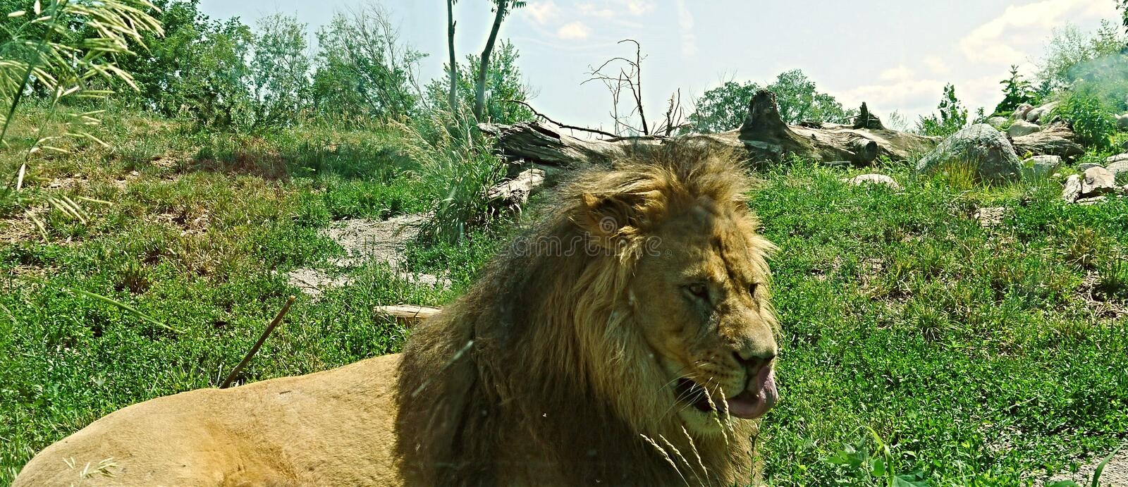 Lion With His Tongue Out arkivbilder