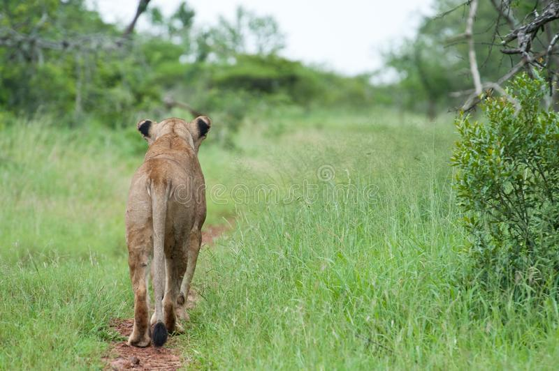 Download Lion on the hunt stock photo. Image of looking, feline - 18940752