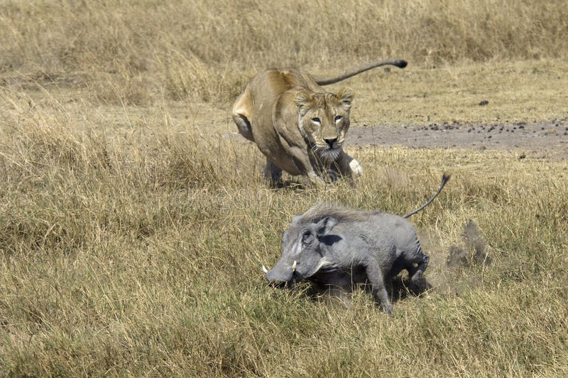 Lion on the hunt. Lion hunting on a Common Warhtog
